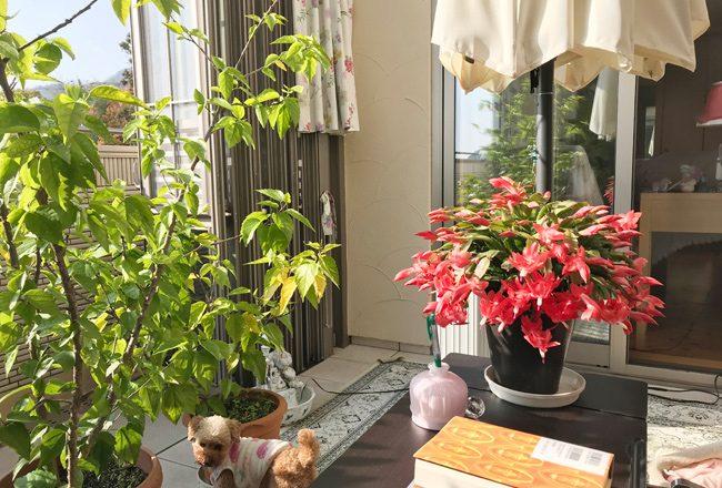 カニシャボテンの花とハイビスカスと愛犬アミ