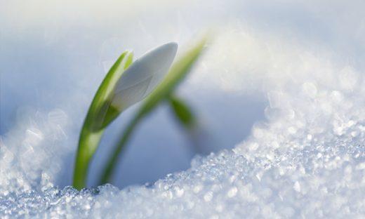 雪の中から芽吹く花のつぼみ